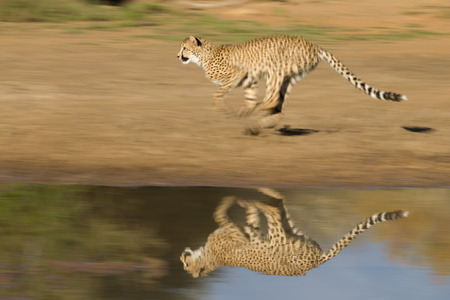 Foto per A cheetah runs fast next to water with reflection, South Africa - Immagine Royalty Free