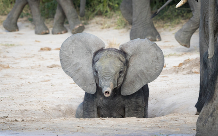 Photo pour Young baby African Elephant with ears out and trunk up, Savuti area of Chobe National Park in Botswana - image libre de droit