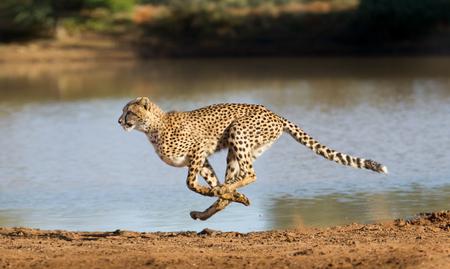 Foto de Cheetah running at full speed in South Africa (Acinonyx jubatus) - Imagen libre de derechos