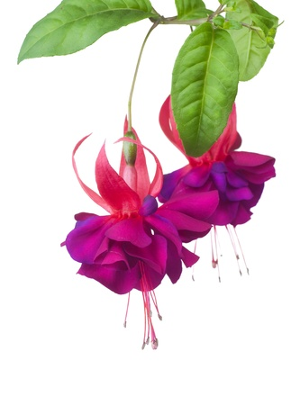 Photo for Fuchsia flowers over white - Royalty Free Image