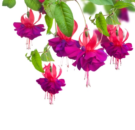 Photo for Fuchsia flowers - Royalty Free Image