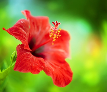 Photo for Hibiscus Flower. Shallow DOF - Royalty Free Image
