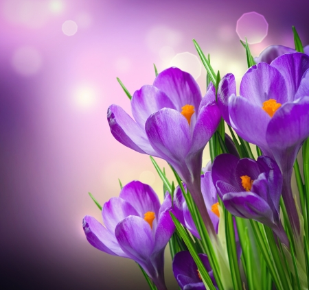 Photo for Crocus Spring Flowers - Royalty Free Image