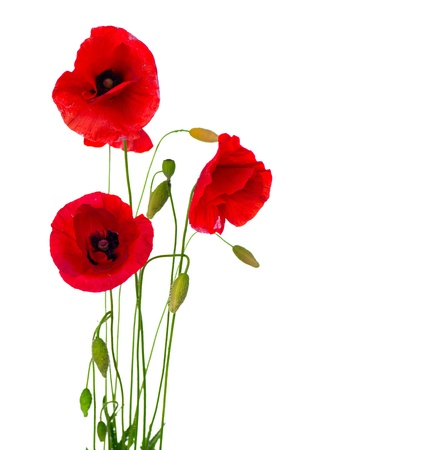 Photo pour Red Poppy Flower Isolated on a White Background - image libre de droit