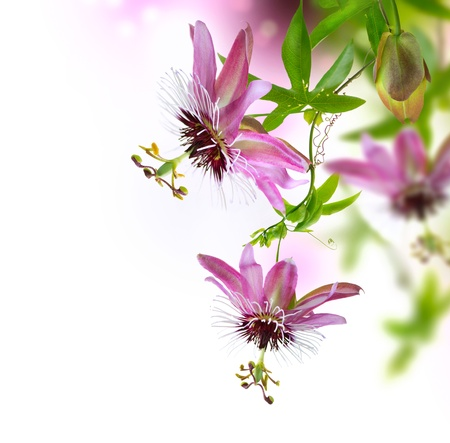 Photo for Passiflora Flower - Royalty Free Image
