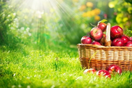 Photo for Organic Apples in the Basket  Orchard  Garden  - Royalty Free Image