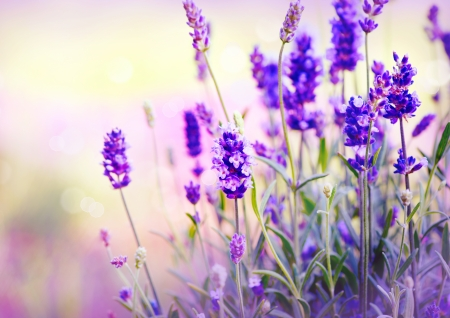 Photo for Lavender Field  - Royalty Free Image