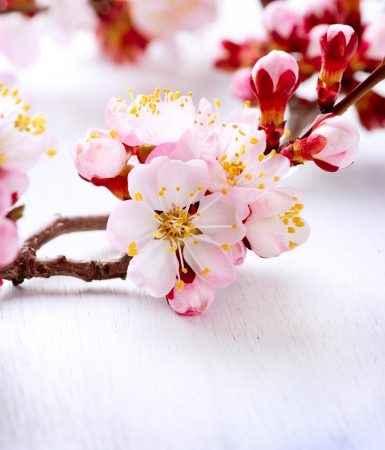 Photo for Spring Blossom  Apricot Flowers  - Royalty Free Image