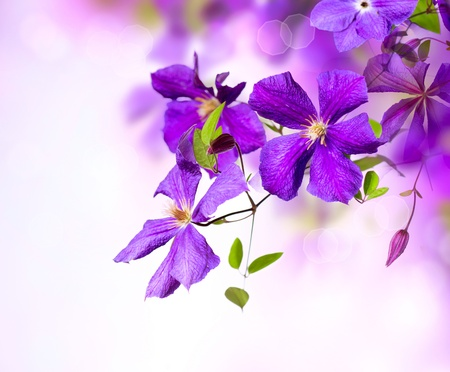 Photo for Clematis Flower  Violet Clematis Flowers Art Border Design  - Royalty Free Image