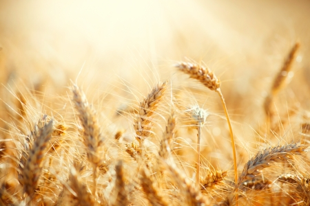 Foto de Field of Dry Golden Wheat  Harvest Concept  - Imagen libre de derechos