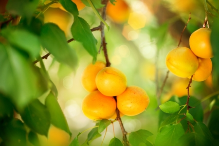 Photo for Apricot Growing  Ripe Apricots in Orchard  Organic Fruits  - Royalty Free Image