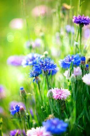 Foto de Cornflowers  Wild Blue Flowers Blooming  Closeup Image  - Imagen libre de derechos