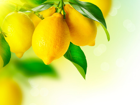 Foto de Lemon  Ripe Lemons Hanging on a Lemon tree  Growing Lemon - Imagen libre de derechos