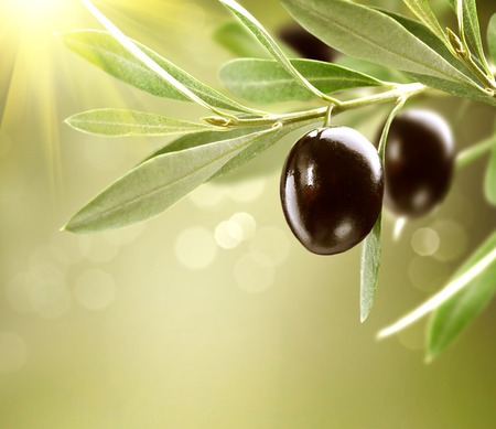 Photo for Growing Olives  Black Ripe Olive on a Tree - Royalty Free Image