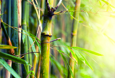 Photo for Bamboo Forest  - Royalty Free Image