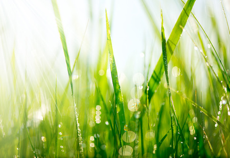 Photo for Fresh green grass with dew drops closeup  Soft Focus - Royalty Free Image