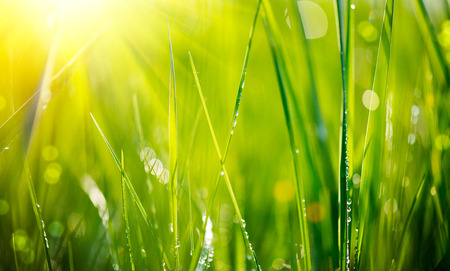 Foto de Fresh green grass with dew drops closeup  Soft Focus - Imagen libre de derechos
