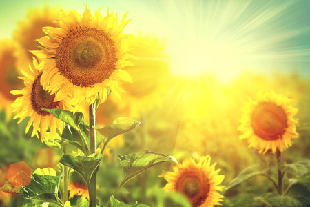Foto de Beautiful sunflowers blooming on the field  Growing sunflower - Imagen libre de derechos