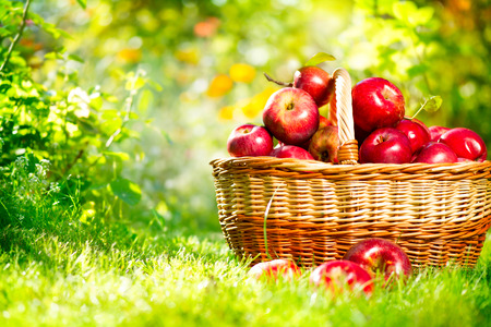 Photo for Organic Apples in a Basket Outdoor - Royalty Free Image