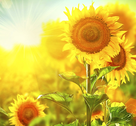 Photo for Beautiful sunflowers blooming on the field  Growing sunflower - Royalty Free Image