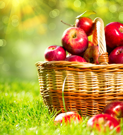 Photo for Organic Apples in a Basket outdoor  Orchard - Royalty Free Image