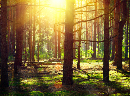 Photo for Misty Old Forest. Autumn Woods with sunlight - Royalty Free Image