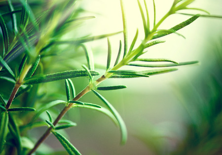 Photo pour Fresh Rosemary Herb grow outdoor. Rosemary leaves Close-up. Fresh Organic flavoring plants growing. Nature healthy flavoring. Ingredients for food - image libre de droit