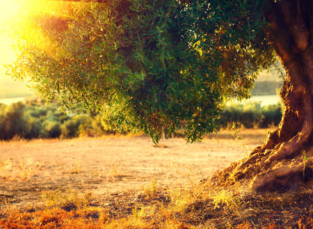 Photo pour Olive tree in the sunlight. Mediterranean olive field with old olive tree. Agricultural landscape. Healthy nutrition concept - image libre de droit