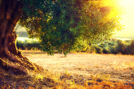 Photo pour Olive trees. Plantation of olive trees at sunset. Mediterranean olive field with old olive tree. Vegetable produce industry. Seasonal nature - image libre de droit
