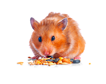 Photo for Hamster. Eating little cute pet isolated on a white background - Royalty Free Image