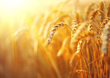 Photo pour Wheat field. Ears of golden wheat closeup. Rural scenery under shining sunlight - image libre de droit