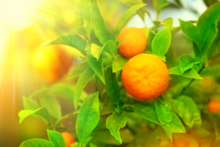 Photo for Ripe oranges or tangerines hanging on a tree - Royalty Free Image