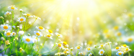 Photo pour Beautiful nature scene with blooming chamomiles in sun flares - image libre de droit