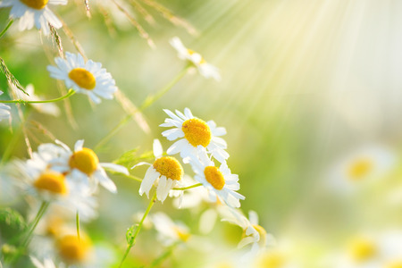 Foto de Chamomile field flowers border. Beautiful nature scene with blooming medical chamomilles - Imagen libre de derechos