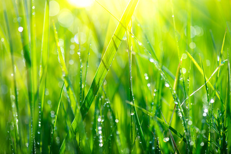 Photo for Grass. Fresh green spring grass with dew drops closeup - Royalty Free Image