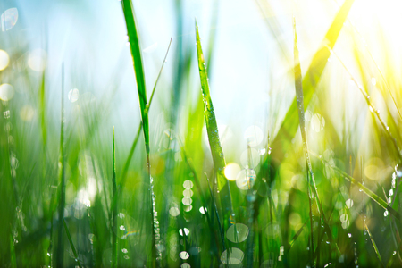 Photo pour Grass. Fresh green spring grass with dew drops closeup - image libre de droit