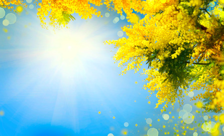 Photo pour Mimosa. Spring flowers Easter background. Blooming mimosa tree over blue sky - image libre de droit