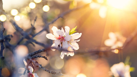 Photo pour Spring blossom background. Beautiful nature scene with blooming almond tree - image libre de droit