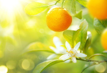 Photo for Ripe oranges or tangerines hanging on a tree. Healthy organic juicy fruits growing in sunny orchard - Royalty Free Image