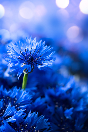 Photo pour Cornflowers. Wild Blue Flowers Blooming. Border Art Design background. Closeup Image. Soft Focus - image libre de droit
