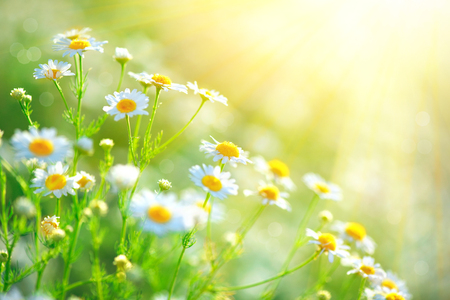 Photo pour Chamomile field flowers border. Beautiful nature scene with blooming medical chamomilles - image libre de droit