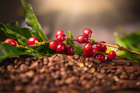 Foto de Coffee. Real coffee plant on roasted coffee background - Imagen libre de derechos