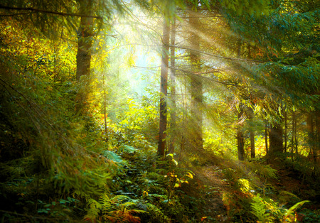 Photo for Autumn scene. Misty old forest with sun rays, shadows and fog - Royalty Free Image