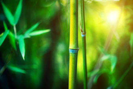 Photo for Bamboo Forest. Growing bamboo border design over blurred sunny background. Nature backdrop - Royalty Free Image