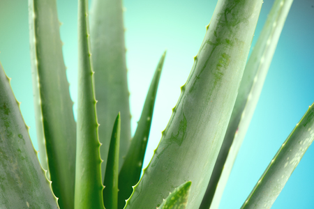 Photo pour Aloe Vera closeup. Aloevera plant on blue background. Natural organic renewal cosmetics, alternative medicine. Skincare concept - image libre de droit