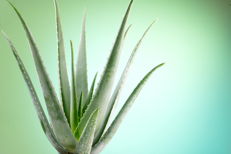 Photo pour Aloe Vera closeup. Aloevera plant on green with blue background. Natural organic renewal cosmetics, alternative medicine. Skincare concept - image libre de droit