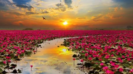 Foto de Sunshine rising lotus flower in Thailand - Imagen libre de derechos