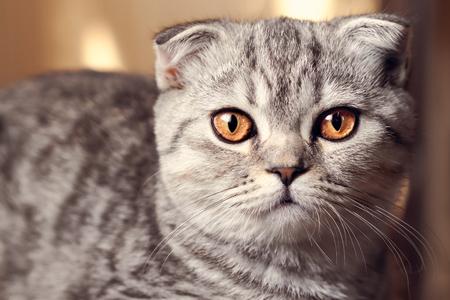 Foto de Toned portrait of a cute cat with amber eyes. Scottish fold. - Imagen libre de derechos