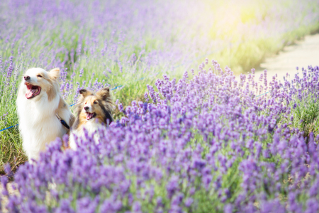 Photo for Cute dogs in the Lavender field in Hokkaido, Japan - Royalty Free Image