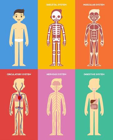 Ilustración de Stylized human body anatomy chart: skeletal, muscular, circulatory, nervous and digestive systems. Flat cartoon style. - Imagen libre de derechos